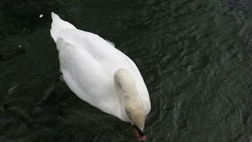 Ο Κύκνος κολυμπά στη λίμνη απόθεμα βίντεο