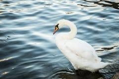 Ο Κύκνος με τα πόδια στο νερό, ποταμός Δούναβη, Στοκ Φωτογραφίες