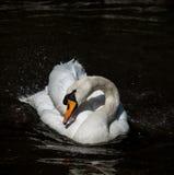 Ο κύκνος στο νερό και το φως του ήλιου λιμνών Στοκ φωτογραφία με δικαίωμα ελεύθερης χρήσης