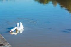 Ο κύκνος στο Po ποταμό στο Τορίνο, Ιταλία Στοκ Φωτογραφίες