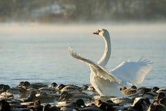 Ο κύκνος Trumpeter τεντώνει τα φτερά του Στοκ Φωτογραφίες
