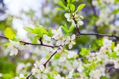Ο κλάδος δέντρων της Apple με τα λουλούδια καλλιεργεί την άνοιξη Στοκ φωτογραφία με δικαίωμα ελεύθερης χρήσης