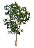 Ο κλάδος δέντρων Στοκ Φωτογραφίες