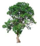 Ο κλάδος δέντρων Στοκ Εικόνα
