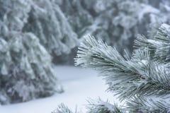 Ο κλάδος ενός χριστουγεννιάτικου δέντρου στην εστίαση με ένα θολωμένο υπόβαθρο Ρωσία, Stary Krym Στοκ φωτογραφία με δικαίωμα ελεύθερης χρήσης
