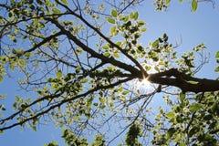 Ο κλάδος με βγάζει φύλλα στον ήλιο Στοκ φωτογραφία με δικαίωμα ελεύθερης χρήσης