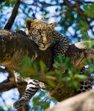 ο κλάδος που έχει κρύψει καυτό leopard βρίσκεται δέντρο ήλιων σκιάς Εθνικό πάρκο Κένυα Τανζανία Maasai Mara serengeti Στοκ Φωτογραφία