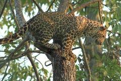 ο κλάδος που έχει κρύψει καυτό leopard βρίσκεται δέντρο ήλιων σκιάς Στοκ Εικόνες