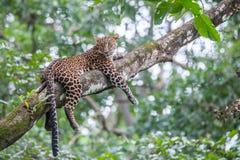 ο κλάδος που έχει κρύψει καυτό leopard βρίσκεται δέντρο ήλιων σκιάς Στοκ φωτογραφία με δικαίωμα ελεύθερης χρήσης