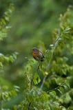 ο κλάδος πουλιών που η πράσινη απεικόνιση αφήνει nightingale το φυτό κάθεται το διάνυσμα Στοκ φωτογραφίες με δικαίωμα ελεύθερης χρήσης