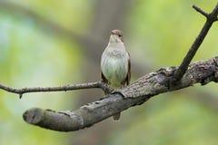 ο κλάδος πουλιών που η πράσινη απεικόνιση αφήνει nightingale το φυτό κάθεται το διάνυσμα Στοκ Εικόνες