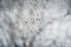 Ο κλάδος του δέντρου με το κόκκινο καλυμμένος στον άσπρο παγετό Στοκ φωτογραφίες με δικαίωμα ελεύθερης χρήσης