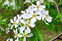 Ο κλάδος Apple-δέντρων ανθίζει τα άνθη την άνοιξη Στοκ Εικόνα