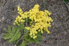 Ο κλαδίσκος mimosa Στοκ φωτογραφία με δικαίωμα ελεύθερης χρήσης