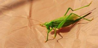 Ο κ. Πράσινο Grasshopper Στοκ Φωτογραφίες
