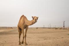 Ο κ. Camel Στοκ Εικόνες