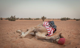 Ο κ. Camel Στοκ φωτογραφία με δικαίωμα ελεύθερης χρήσης