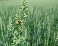 Ο κ. Ladybug Στοκ εικόνες με δικαίωμα ελεύθερης χρήσης