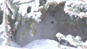Ο λαγός πλεγμάτων σχήματος ρακέτας στη χιονώδη κρύβοντας θέση τρέχει μακριά απόθεμα βίντεο