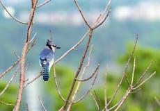 Ο λαμπρά διαμορφωμένος μπλε Jay που κάθεται στον κλάδο δέντρων στην άνοιξη Στοκ Εικόνα