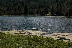 Ο λευκός Κύκνος και γκρίζοι νεοσσοί μέσα στη λίμνη Στοκ εικόνες με δικαίωμα ελεύθερης χρήσης