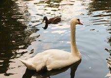 Ο λευκός Κύκνος-μουγγός κολυμπά στη λίμνη στοκ εικόνες με δικαίωμα ελεύθερης χρήσης