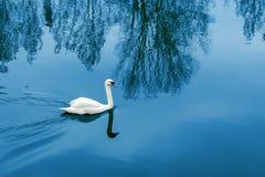 Ο λευκός Κύκνος που επιπλέει στη λίμνη το βράδυ, μπλε νερό στοκ φωτογραφίες με δικαίωμα ελεύθερης χρήσης