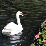 Ο λευκός Κύκνος που κολυμπά σε ένα μαύρο νερό κοντά στα ρόδινα λουλούδια στοκ εικόνα
