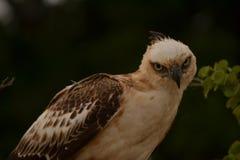 Ο λοφιοφόρος αετός γερακιών τα μάτια είναι πολύ αιχμηρός, η ασυνήθιστη στροφή του δέντρου μπορεί να αντιστραφεί στοκ εικόνες