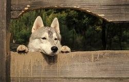 Ο λύκος ψάχνει το θήραμα Pet και ζωικός, σιβηρικός γεροδεμένος, έτος σκυλιών Στοκ εικόνα με δικαίωμα ελεύθερης χρήσης
