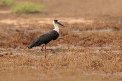 Ο μάλλινος-necked πελαργός ή ο πελαργός, episcopus Ciconia, είναι ένα μεγάλο wading πουλί στην οικογένεια Ciconiidae πελαργών Που Στοκ εικόνα με δικαίωμα ελεύθερης χρήσης