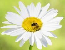 Ο μίμος μελισσών αιωρείται τη μύγα στη μαργαρίτα στο πράσινο υπόβαθρο στοκ φωτογραφία με δικαίωμα ελεύθερης χρήσης