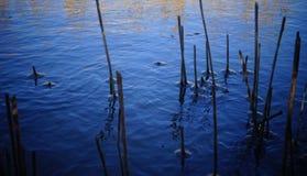 Ο μίσχος του καλάμου, παγωμένο νερό γύρω από τους μίσχους σε ένα υπόβαθρο Στοκ Εικόνα