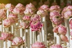 Ο μαραμένος ρόδινος λωτός χρώματος ανθίζει το λουλούδι πετάλων μέχρι καφετή και Στοκ Φωτογραφία