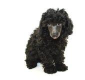 ο Μαύρος έξω poodle της η κολλών&ta στοκ φωτογραφίες