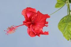 ο Μαύρος έρχεται hibiscus κλίσης λουλουδιών ερυθρές εκδόσεις μη περιγραμμάτων στοκ εικόνα με δικαίωμα ελεύθερης χρήσης