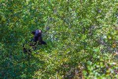 Ο Μαύρος αντέχει να φάει τα μούρα στην κορυφή ενός δέντρου Μεγάλο Te στοκ φωτογραφία με δικαίωμα ελεύθερης χρήσης