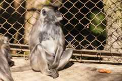 Ο μαύρος αντιμέτωπος πίθηκος Langur κάθεται στο κλουβί στο ζωολογικό πάρκο Padmaja Naidu Himalayan σε Darjeeling, Ινδία Στοκ φωτογραφία με δικαίωμα ελεύθερης χρήσης