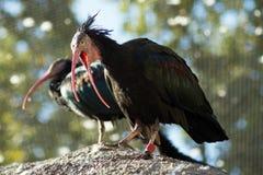 ο Μαύρος δύο πουλιών στοκ φωτογραφία με δικαίωμα ελεύθερης χρήσης