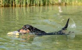 Ο Μαύρος και γερμανική κολύμβηση Pinscher μαυρίσματος Στοκ φωτογραφία με δικαίωμα ελεύθερης χρήσης
