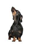 Ο Μαύρος και μαύρισμα dachshund Στοκ Εικόνες