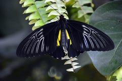 Ο Μαύρος και πεταλούδα σε μια φτέρη Στοκ Φωτογραφία