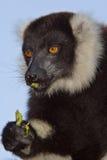 ο μαύρος κερκοπίθηκος το λευκό Στοκ Φωτογραφία