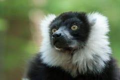 ο μαύρος κερκοπίθηκος τ& Στοκ εικόνα με δικαίωμα ελεύθερης χρήσης
