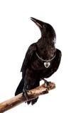 ο μαύρος κλάδος πουλιών κάθεται Στοκ Φωτογραφίες