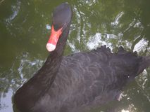 Ο Μαύρος κολύμπησε Στοκ Εικόνες
