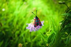 Ο μαύρος-κόκκινος σκώρος φαίνεται φωτεινός στα πλαίσια ενός ευγενούς λουλουδιού και μιας ελαφριάς χλόης στοκ εικόνες με δικαίωμα ελεύθερης χρήσης