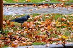 Ο μαύρος κόρακας στα κίτρινα πεσμένα φύλλα ενός φθινοπώρου, το πουλί κοιτάζει Στοκ Εικόνα