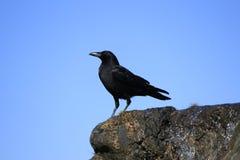 Ο μαύρος κόρακας Στοκ φωτογραφία με δικαίωμα ελεύθερης χρήσης