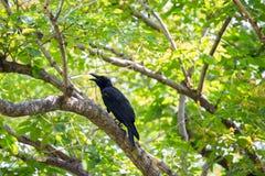 Ο μαύρος κόρακας Στοκ Εικόνες